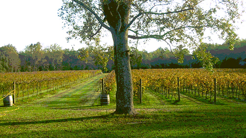 Pontchartrain-Vineyards