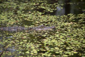 Honey Island Swamp Tour alligator