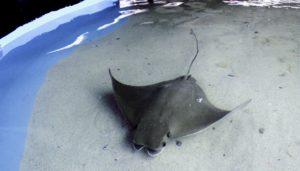 sting ray in tank pool